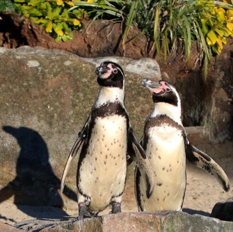 Penguins at Paradise Park in Cornwall
